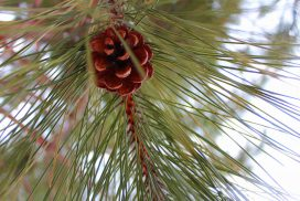 close-up photo of pine cone in red pine tree